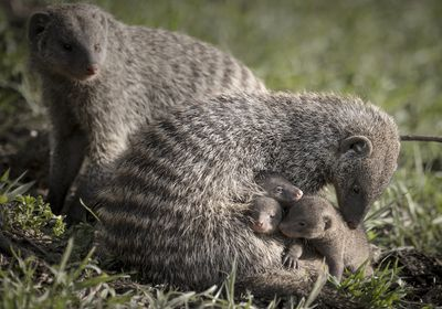Banded mongoose with (somebody's) pups.
