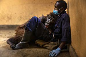 Ndakasi lies in the arms of her caretaker, Andre Bauma