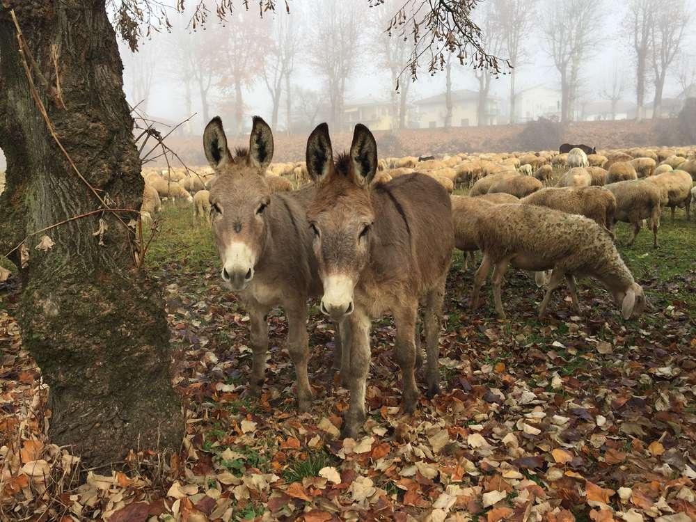 pair of donkeys