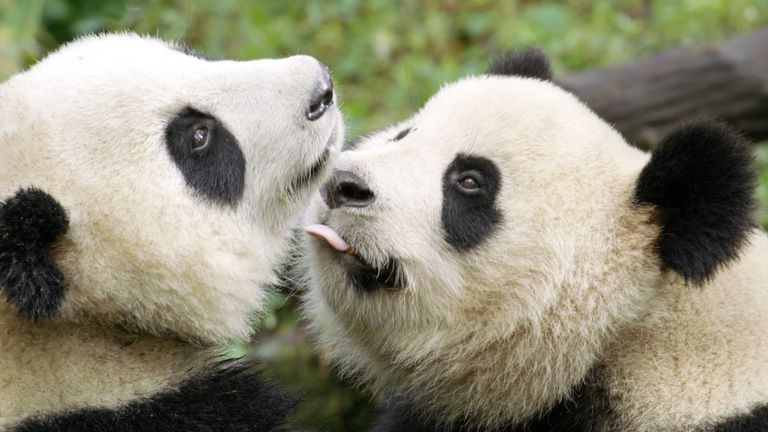 Giant panda and his mother in Wolong Panda Center