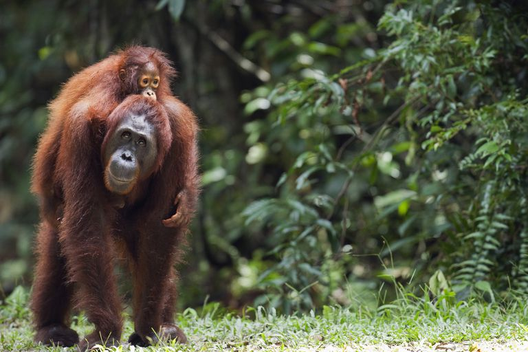 orangutan carrying baby on its back in Indonesia