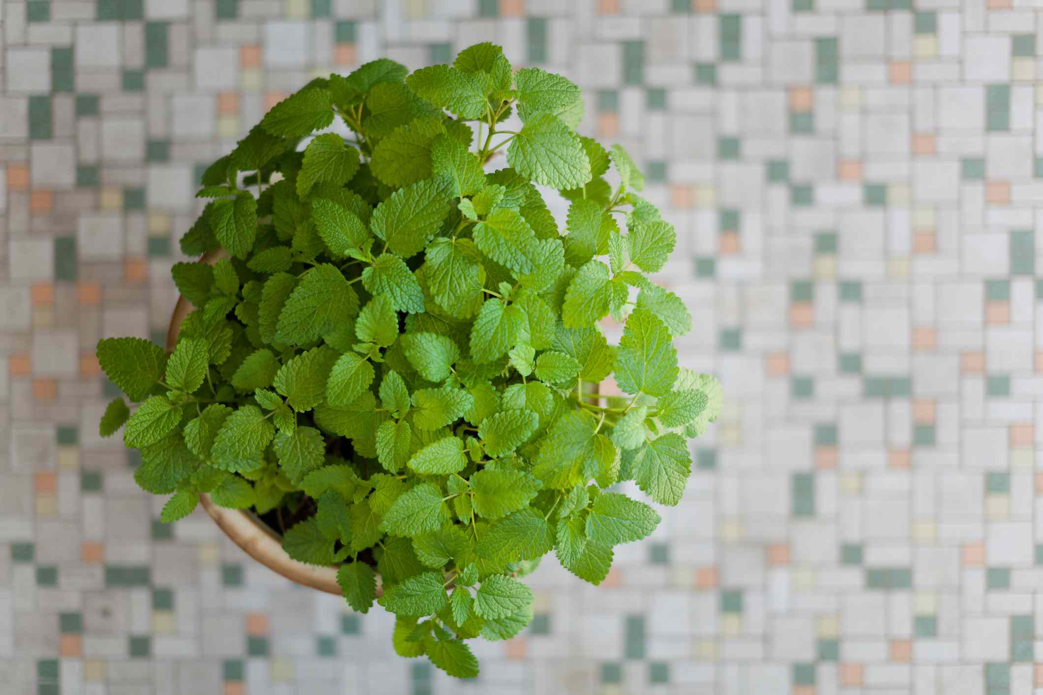 Lemon balm in a planter sitting on a tiled surface.
