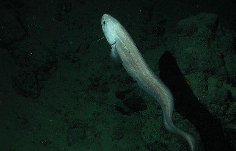 cusk eel photo