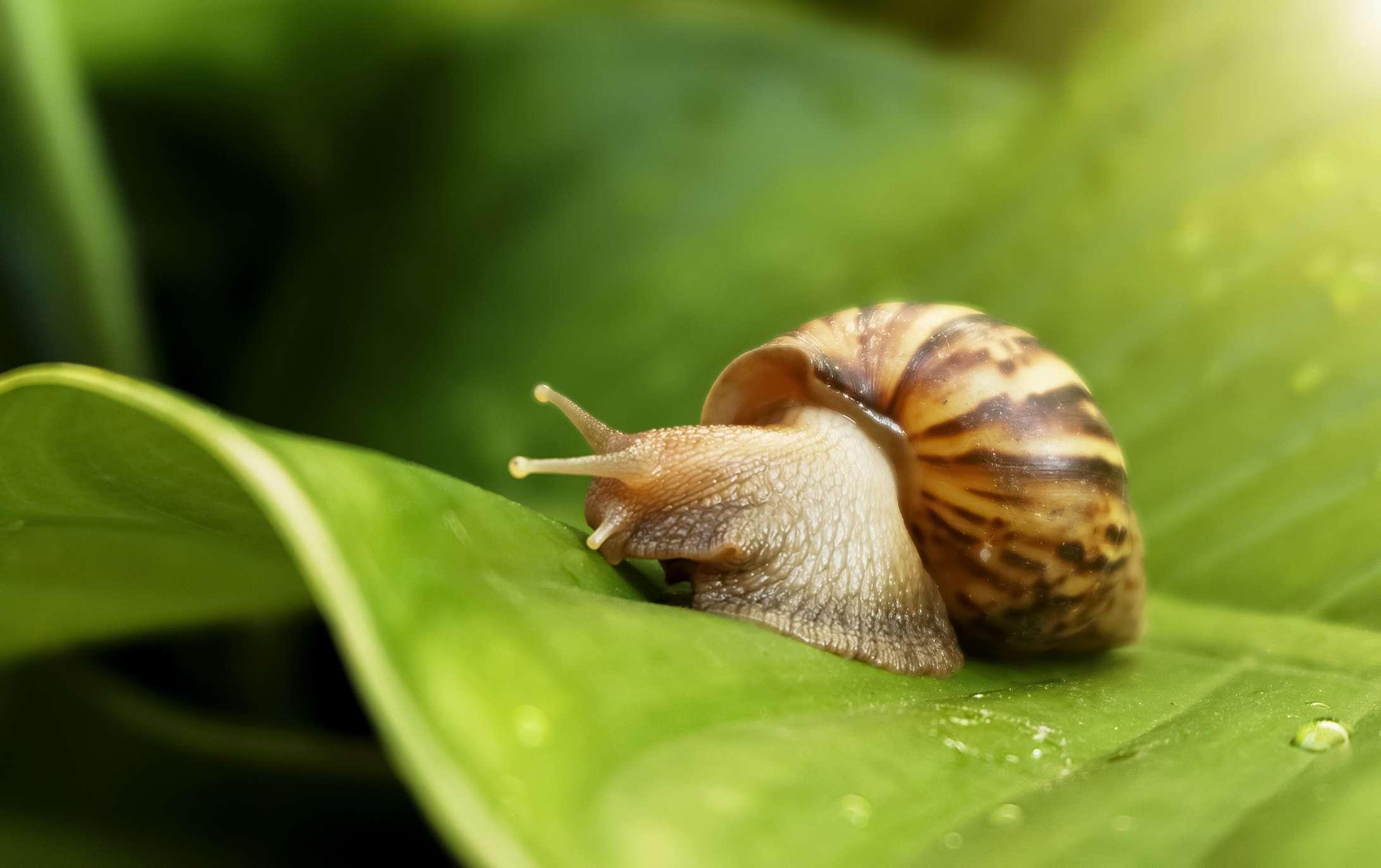 garden snail on leave