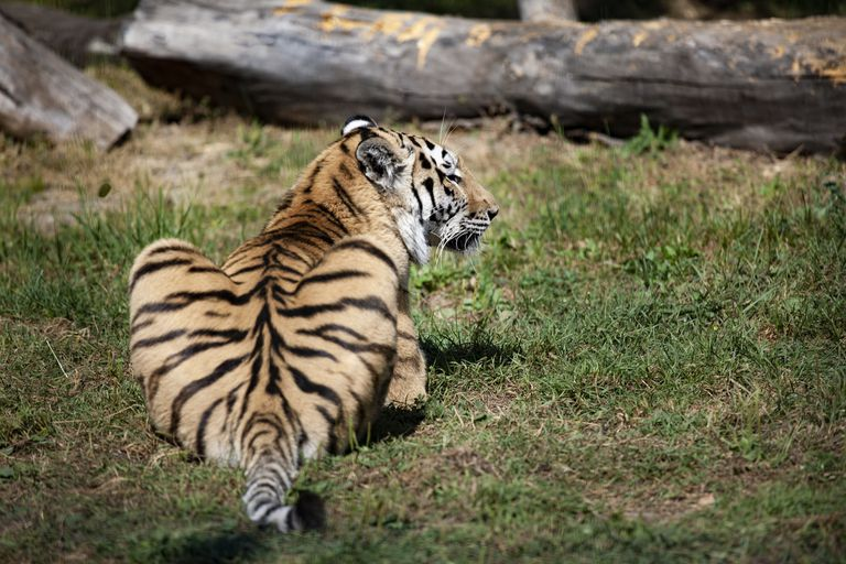 Focus on a tiger's backside with it's head turned to the side.