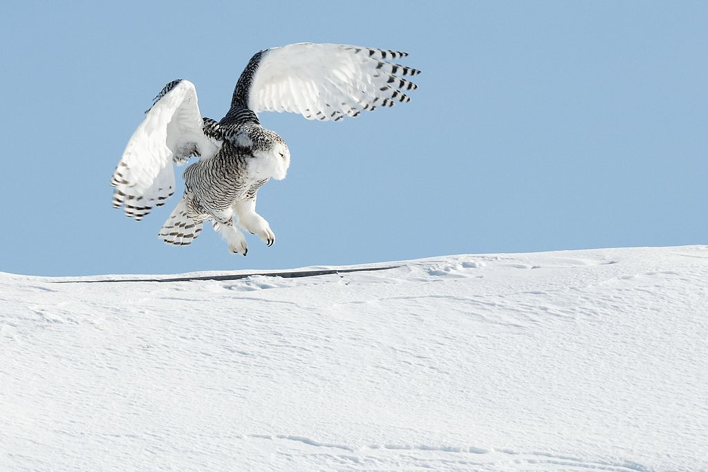 snowy owl coming in for a landing on a snow covered slope