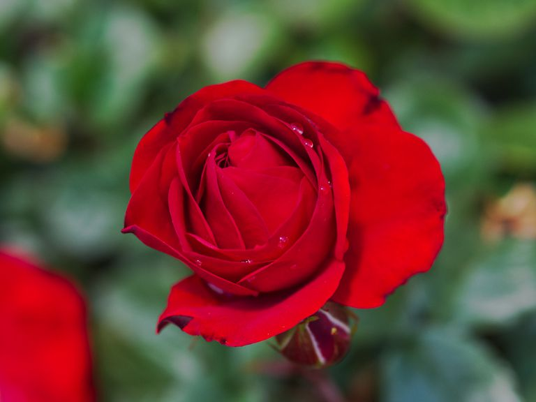 macro focus single blood-red rose in bloom with blurred background