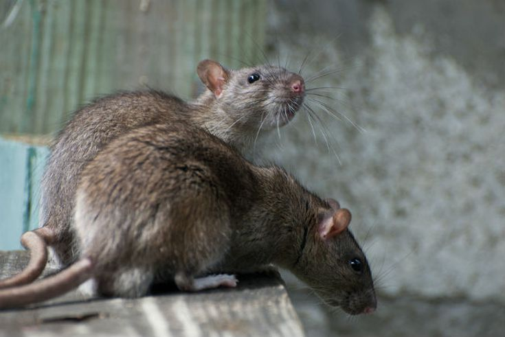 How To Get Rid Of Rats The Right Way, How To Control Mice In Basement