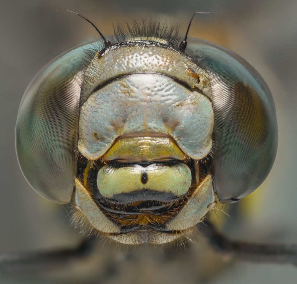 Dragonflies are exceptional predators.