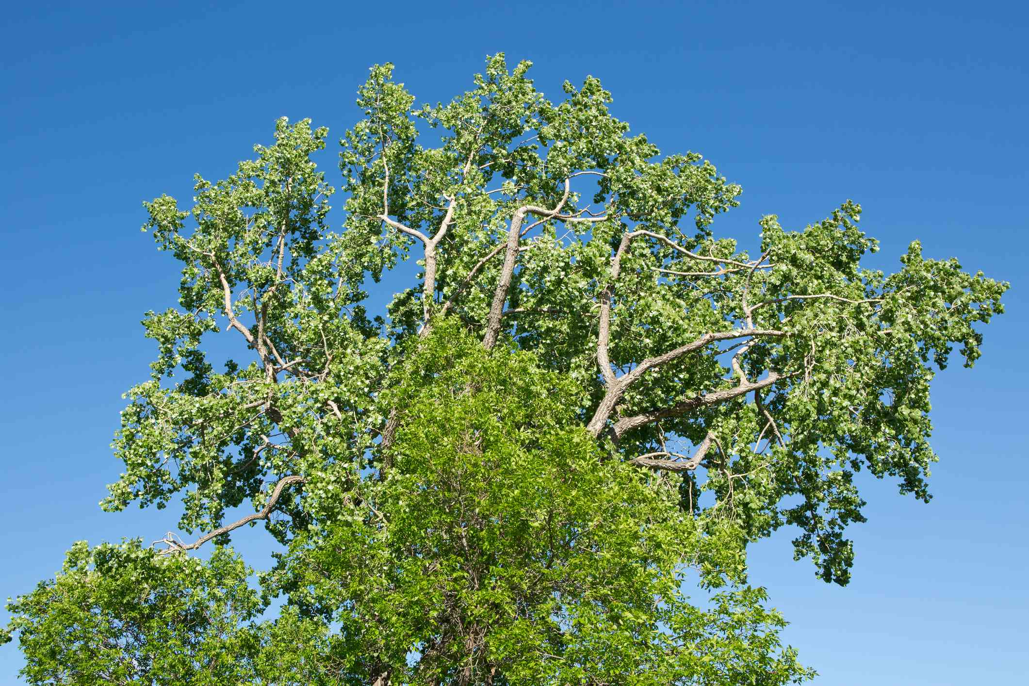 Green Ash tree canopy against a blue sky.