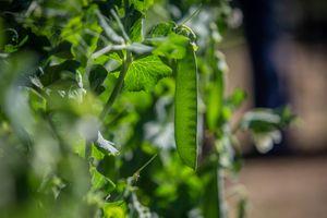 Peas Grow On The Vine