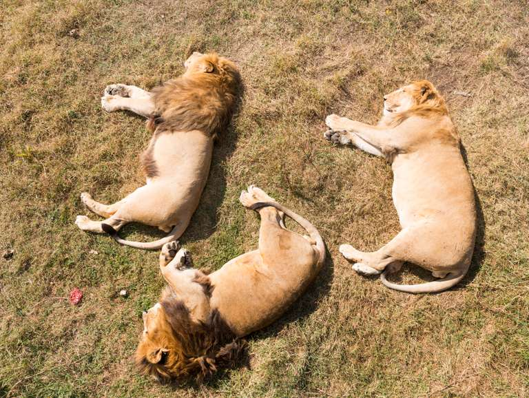 Three lions sleeping on the grass after big meal
