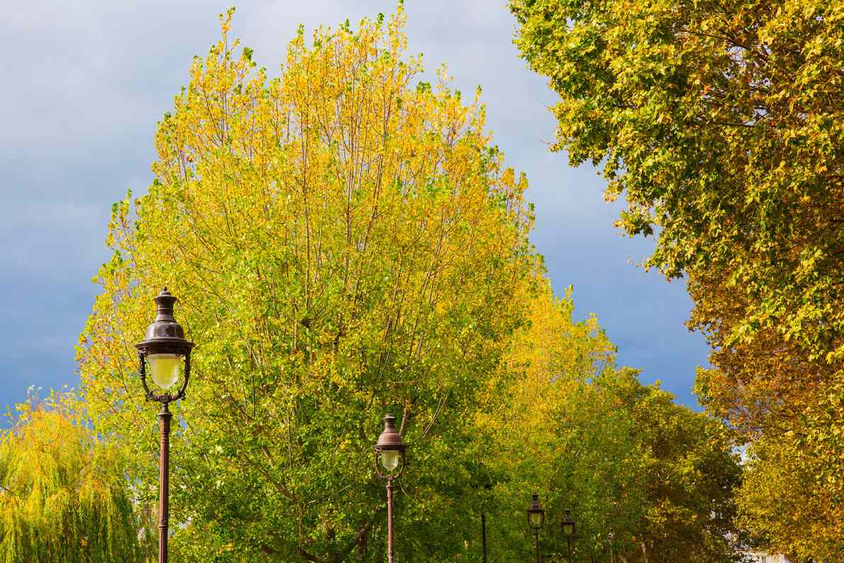 Poplar trees in France