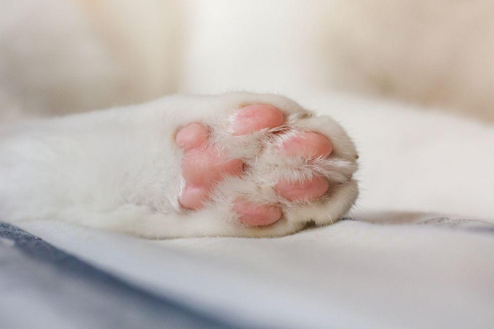 cat's paw close up