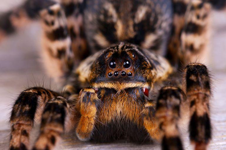 El extraño y adorable misterio de las patas de araña peludas