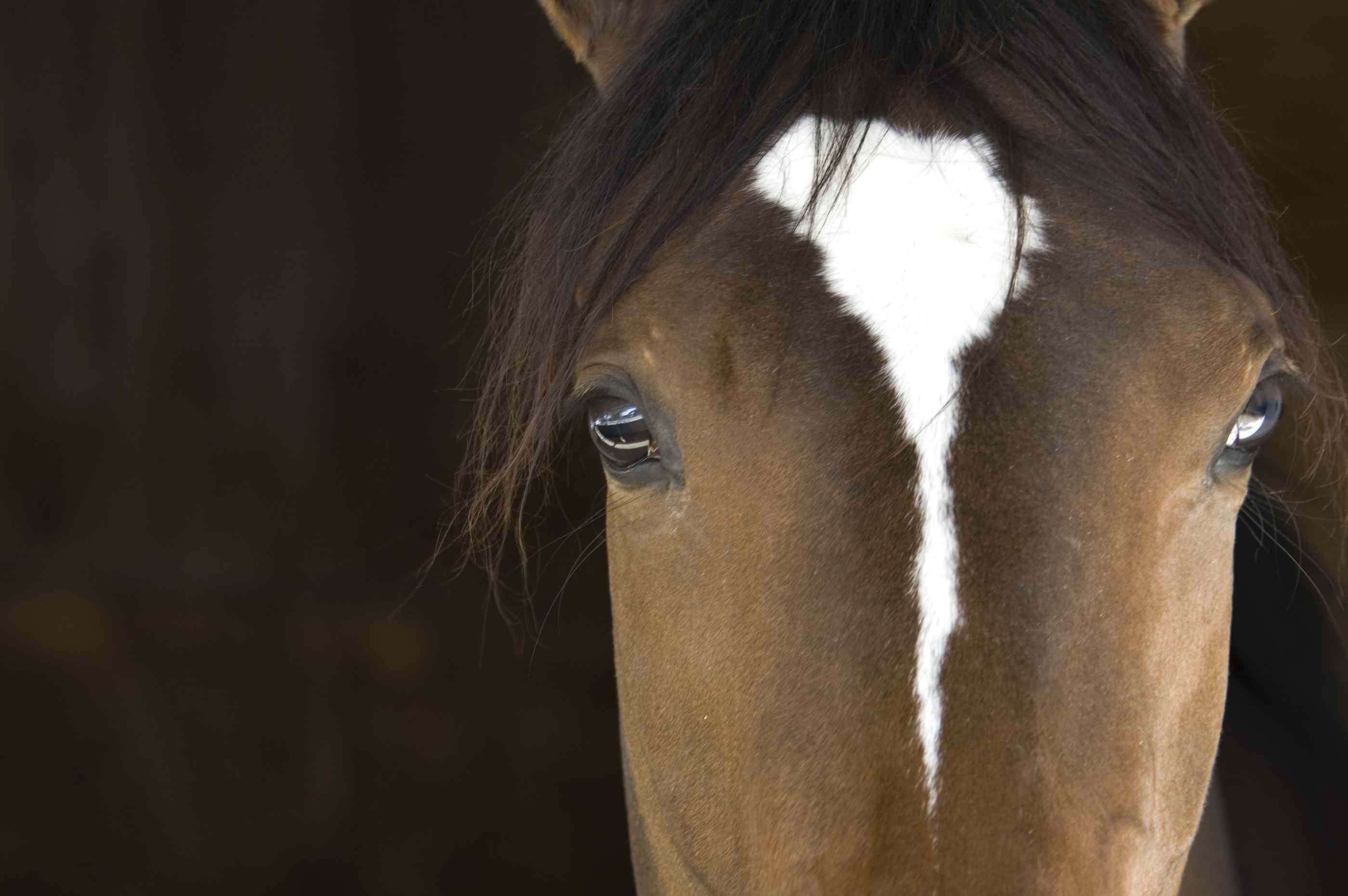 close up front view of horse face showing large eyes far apart on sides of head