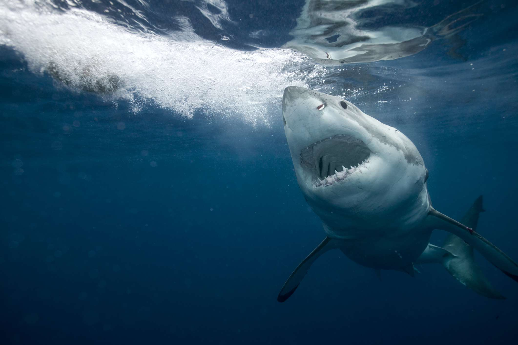 great white shark swims with mouth open toward camera