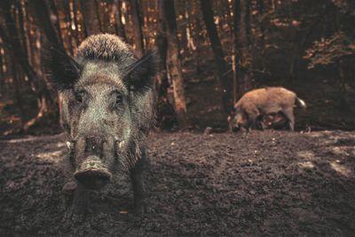 wild pigs in field