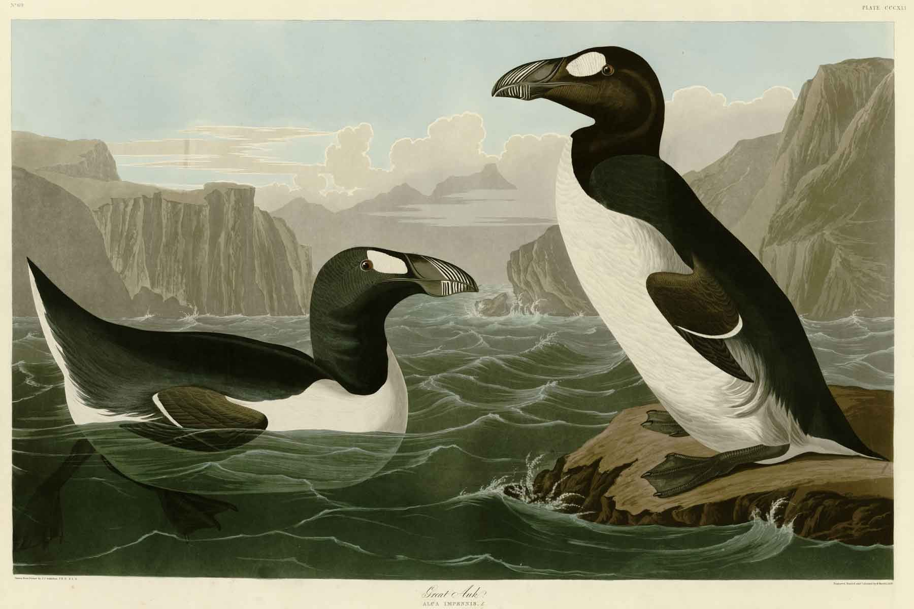 Illustration of a. pair of Great Auks, one on a rock and the other floating in the water