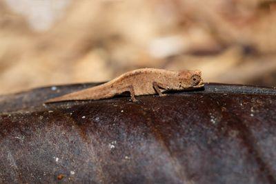 close up profile of tiny tan leaf chameleon