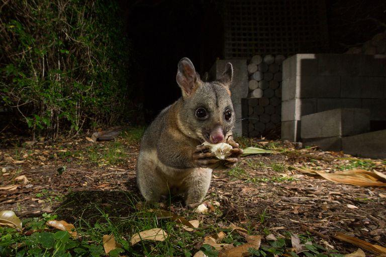 possum eating banana in backyard at night