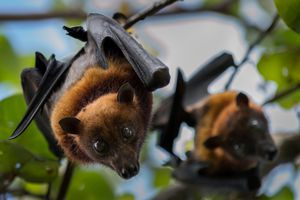 Two fruit bats about to rest after a busy night feeding.