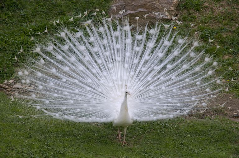 A white albino peacock spreads its feathers on green grass.