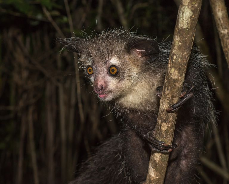 The aye aye is nocturnal.