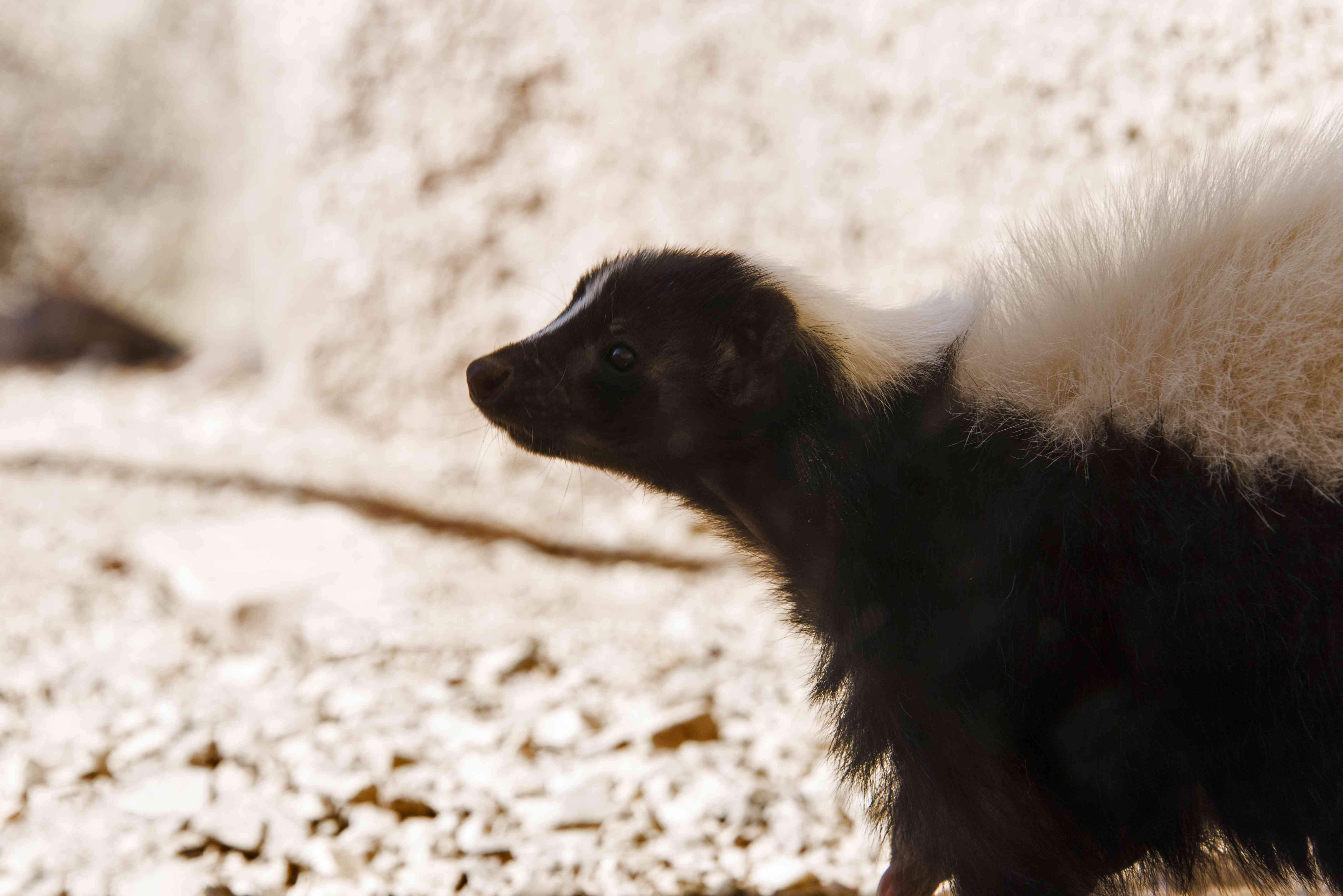 Close-up of a hooded skunk walking outside