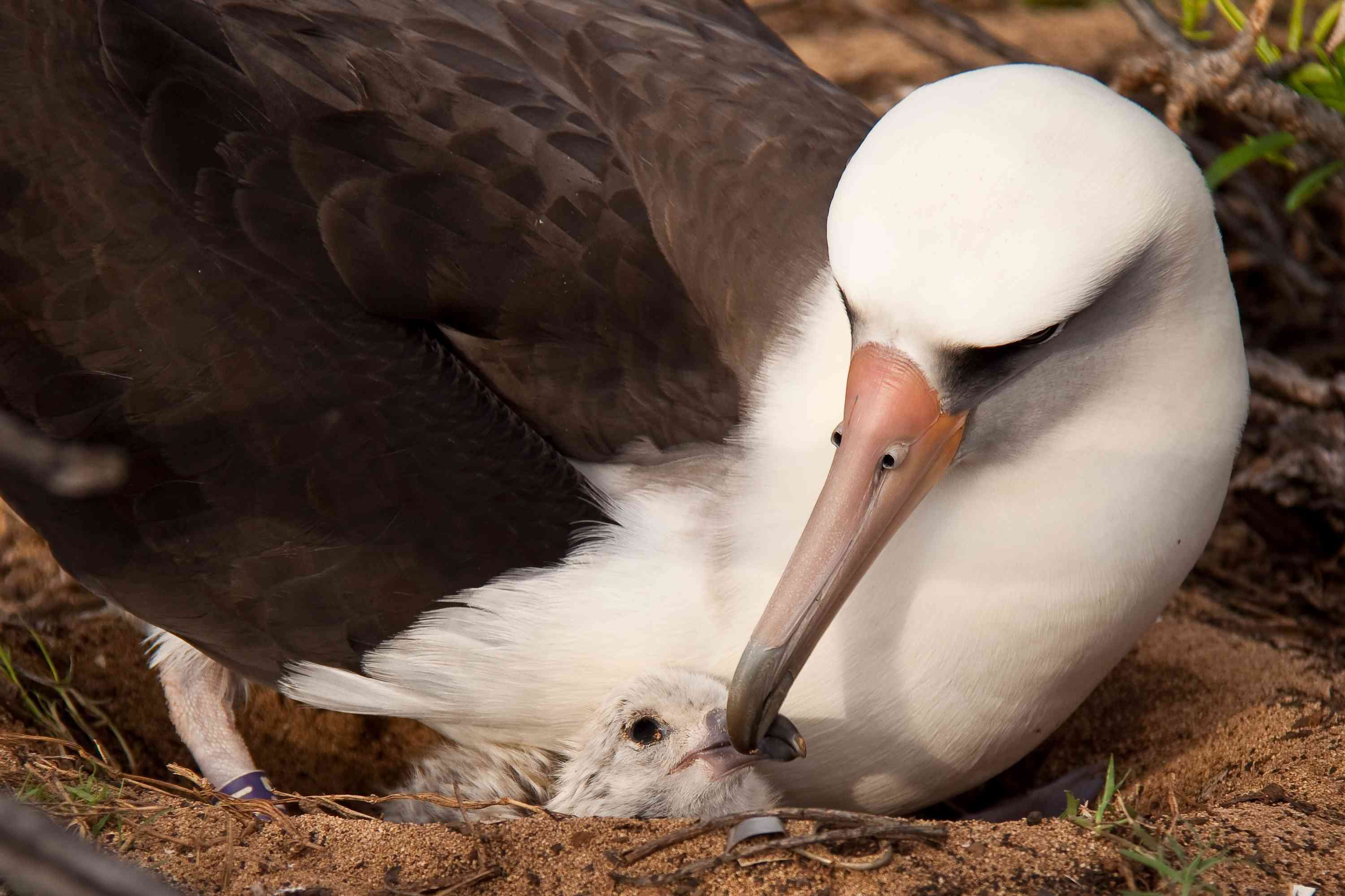 albatross mother and chick on Oahu, Hawaii