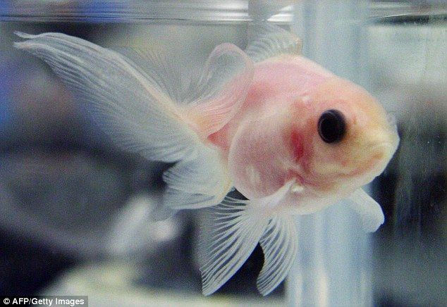 see through fish japan photo