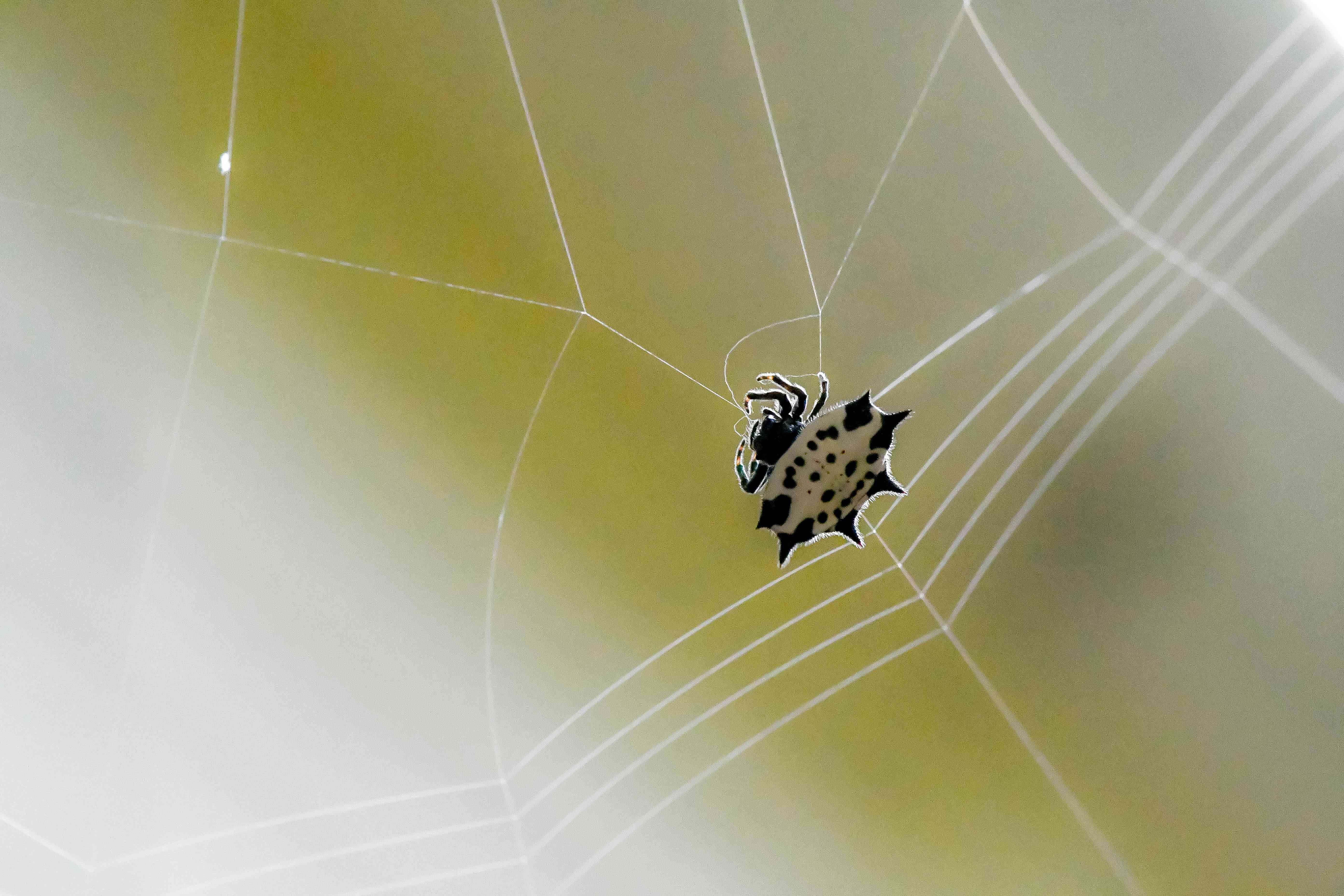 spiny-backed orb weaver spider in web