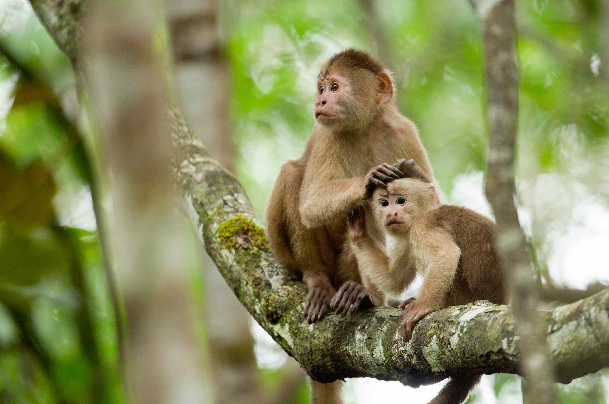 White fronted Capuchin mother grooms her baby for insects on branch off Napo river.