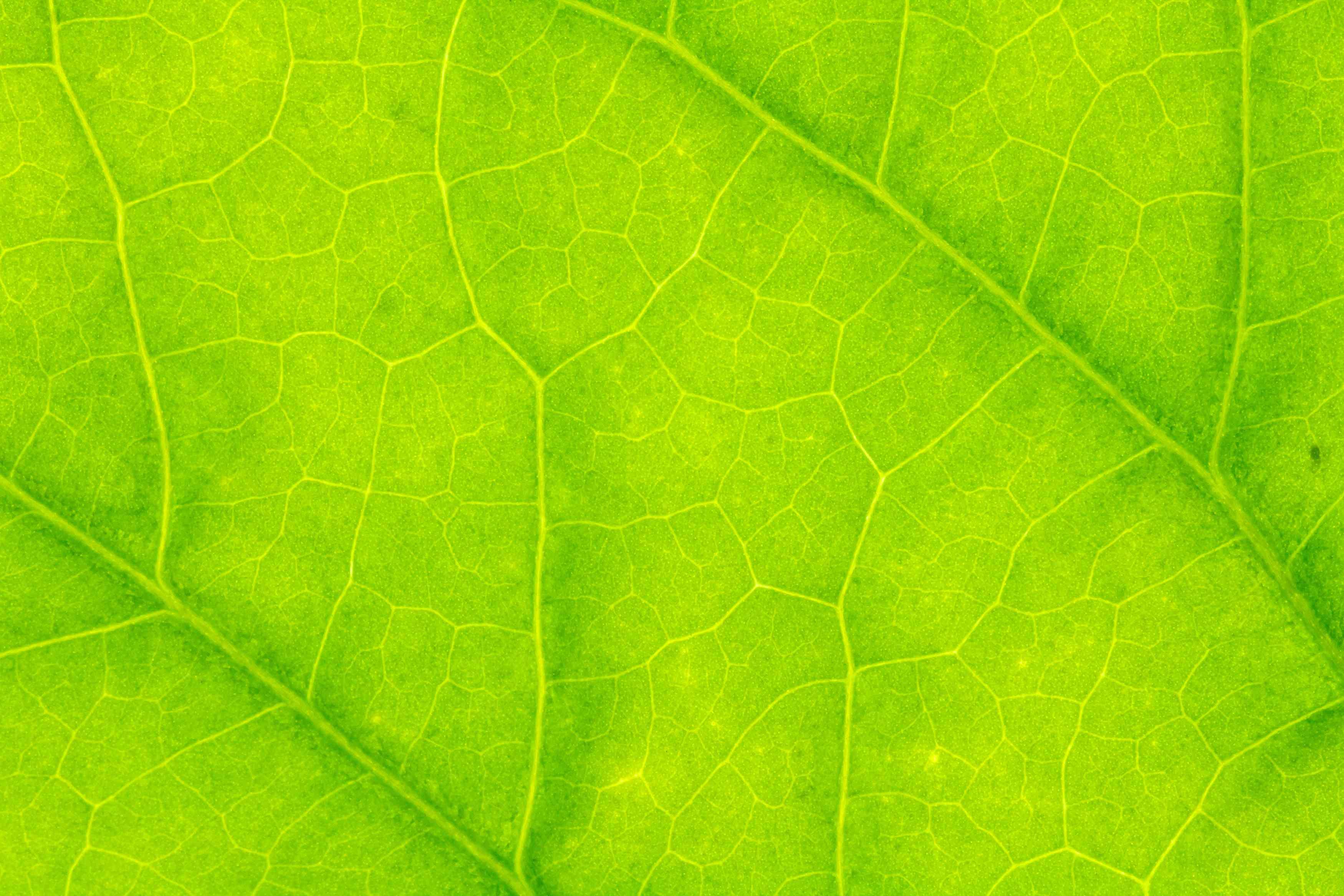 Close-up of leaf showing veins