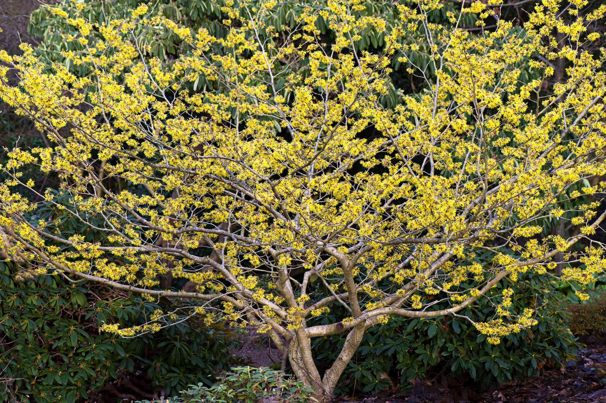 A short and squat witch hazel tree with yellow flowers.