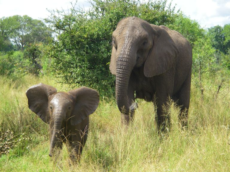 African elephant mother and infant in the wild