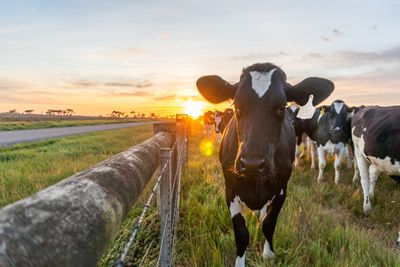 Cows in a field stand next to a wooden fence as the sun sets