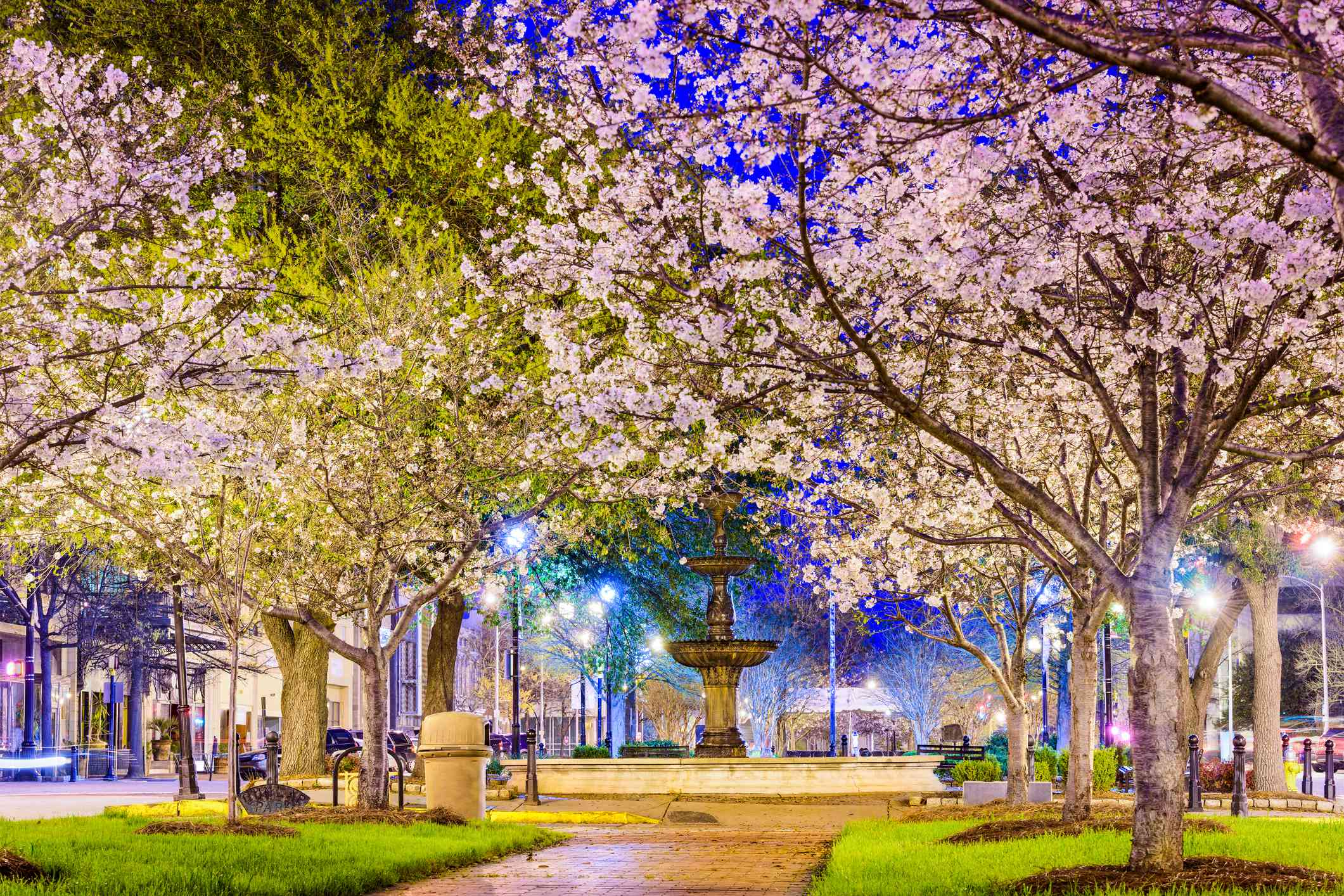 Cherry blossom trees in bloom in small patches of green grass along a pathway in downtown Macon, Georgia at twilight