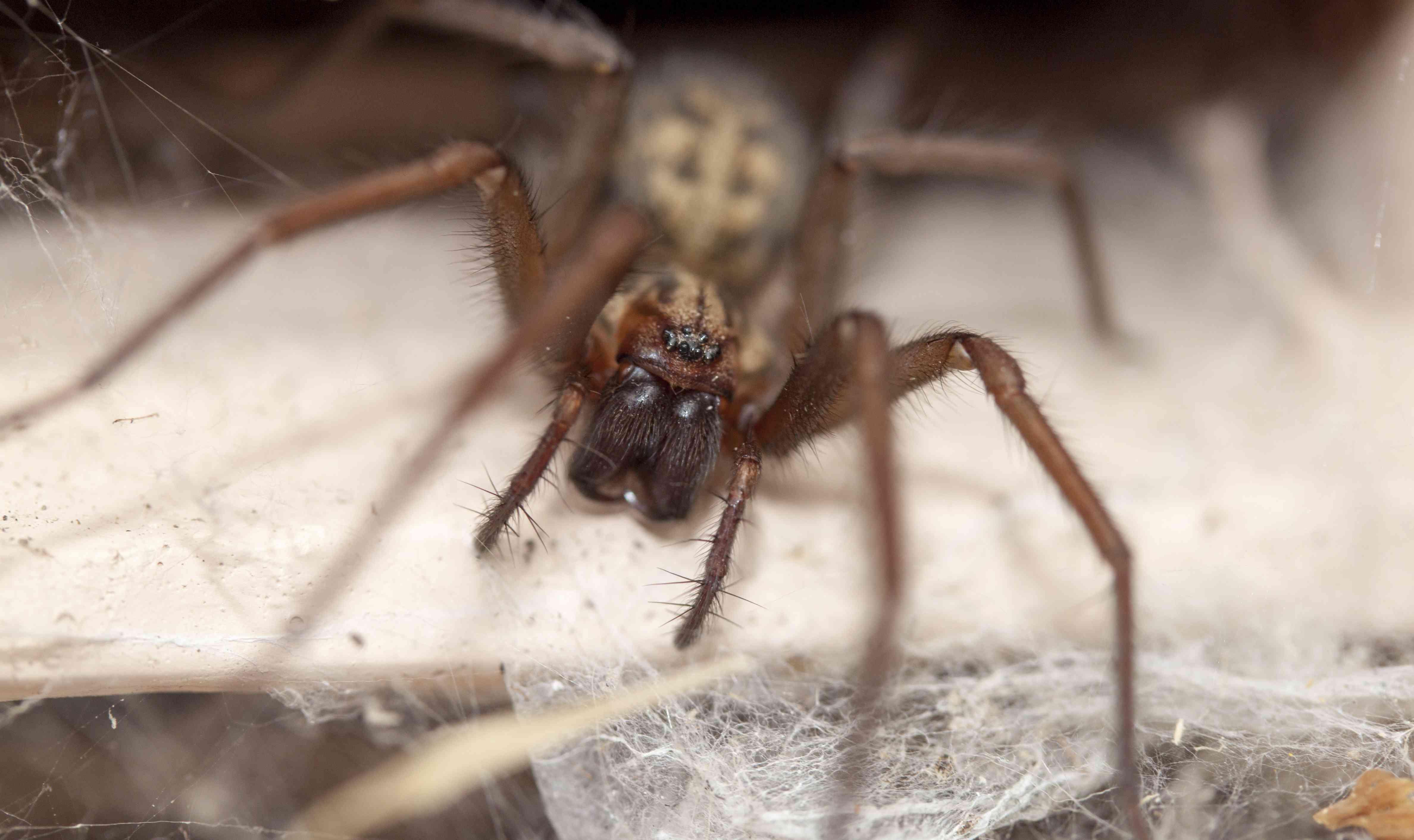 Domestic house spider, Tegenaria domestica
