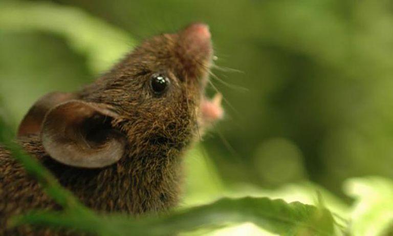 Conoce a los ratones cantores de los bosques nubosos (videos)