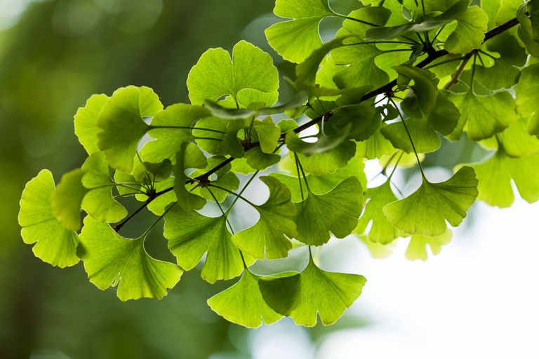 ginkgo tree leaves in Yonghe Lamasery, Beijing, China