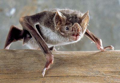 A vampire bat on a log.