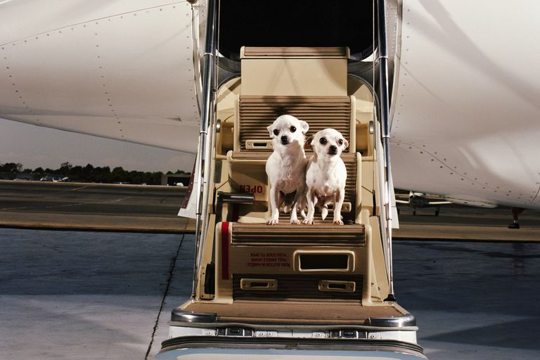 Dogs getting on jet