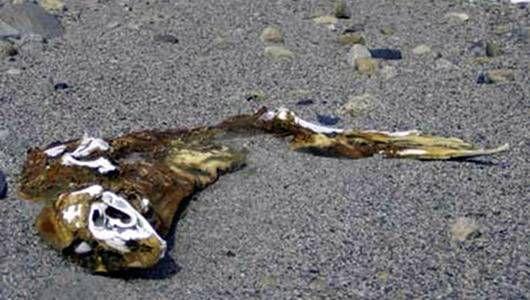 El misterio de las momias de focas centenarias de la Antártida