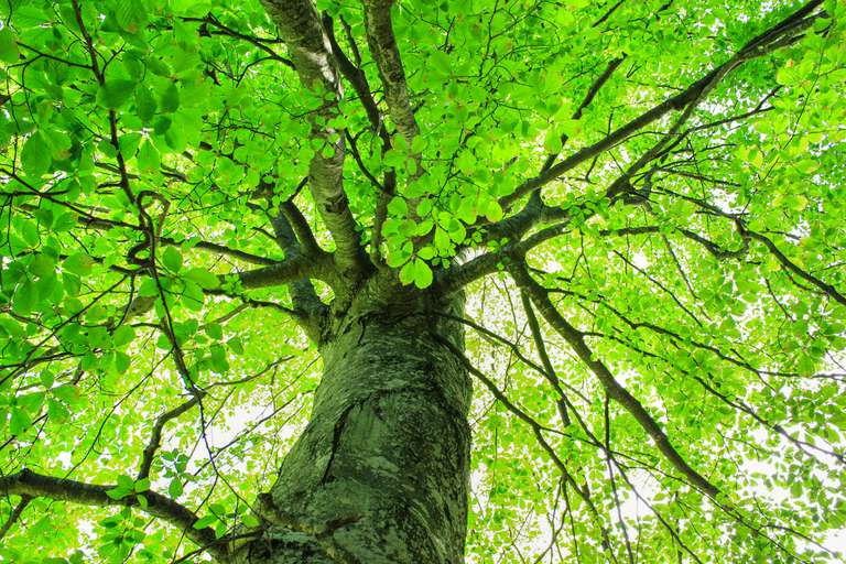 looking up shot into thick canopy of large tree with brilliant green leaves