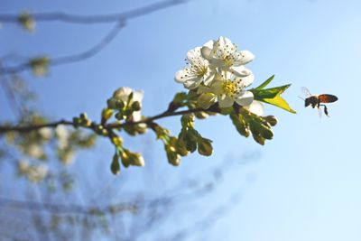 Flowering cherry branch with approaching bee