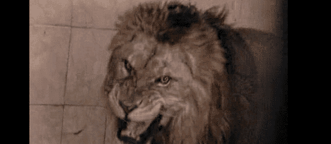 taunting-lions-bahawlpur-zoo.png