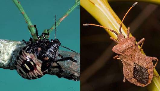 spined soldier bug vs squash bug