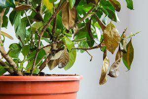 Sick gardenia plant in a pot