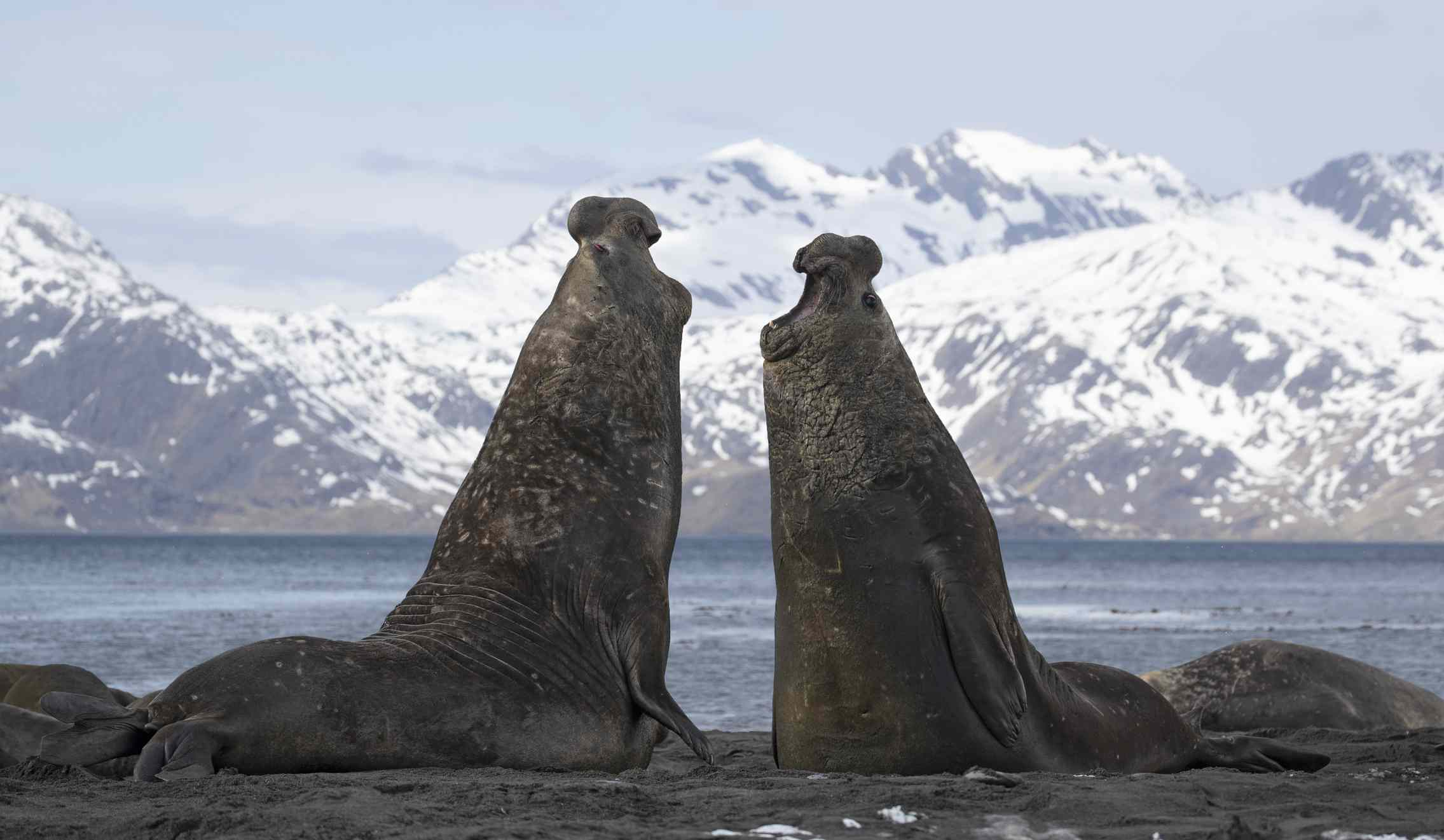 Two elephant seals fighting on shore in Antarctica.
